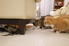 R0090929S (lazybonessss) Tags: ricohgrii ricoh cat crab nana kitten momo kitten2
