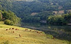 16 2305 - Aveyron, le Lot au barrage de Golinhac (jeanpierreossorio) Tags: aveyron paysage rivire eau vache animaux troupeau lot