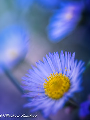 Blue wild light (frederic.gombert) Tags: blue light autumn flower flowers color colors colorful macro nikon d800 daisy wild 1001nights