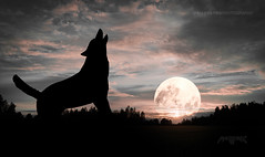 Silhouette 015 - Wolf howling at the Moon (IP Maesstro) Tags: wolf moon night howling animal wild nature hdr ipmaesstro animalplanet