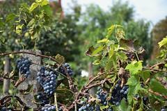 backyard grape (LG_92) Tags: paks hungary 2016 september city autumn nikon dslr d3100 grape fruit green blue leaves closeup