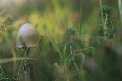Dichosos los ojos (Jons Garca) Tags: otoo soria fungu fungi setas pinares verde flora nature conminanon eos700d seta hierba autumn silvestre closeup montaa relax vida castillayleon espaa blur desenfoque bosques pistaforestal forestal micocyl micologia micolgico green amateur photoamateur reflex 50mm ef50mmf18ii bokhe composicin plantas raw lightroom sunlight sunshine sunsetcolors sunset hongo hongos mediorural rural escapada monte pinocha bierzo