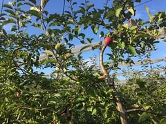 Pommier - Cueillette de La Grange  Coubert (77) (stefff13) Tags: cueillette ferme grange pomme lgume fruit arbre pommier coubert