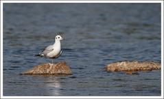 unijambiste (guiguid45) Tags: nature sauvage oiseaux bird loire loiret d810 nikon 500mmf4 mouetterieuse mouette chroicocephalusridibundus