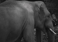 InLoVe. (Warmoezenier) Tags: zwart wit zoo dierentuin antwerpen verliefd love belgie elephant olifant grey grijs