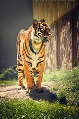 Majestical (viktoria.czire) Tags: tiger animal predator zoo nature light majestical nikon nikond5300 animalplanet big cat outdoor bigcat