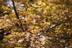 (brittani m.) Tags: newyork fall leaves autumn manhatten brooklyn brooklynbotanicgarden adventure nature centralpark