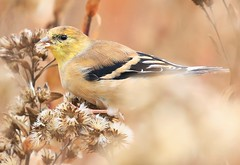 American goldfinch at Decorah Fish Hatchery IA 854A6545 (lreis_naturalist) Tags: american goldfinch eating stiff goldenrod seeds decorah fish hatchery winneshiek county iowa larry reis