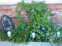 Morning Glory (Trixter13) Tags: pixar toys starwars chewbaca placematskull halloween garden gravvestone flowers morningglorys twins democrat republican funny scary