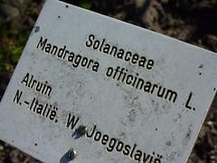 Mandragora officinarum 9 (heinvanwinkel) Tags: 2013 alruin april asterids bloemvandedag eudicotyledons euphyllophyta gunneridae hortus lamiids leiden magnoliophyta mandragoraofficinarum mandragoreae mesangiospermae nederland pentapetalae solanaceae solanales solanoideae spermatophyta tracheophyta