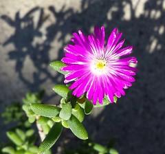 Trichodiadema flowering