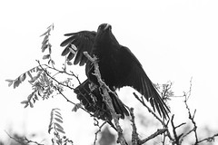 untitled (robwiddowson) Tags: carrioncrow carrion crow bird birds nature natural animal animals art photo photograph photography image picture robertwiddowson blackandwhite