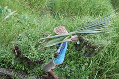Indonesia - Rice Terraces (federica_leveratto) Tags: indonesia agriculture bali balineseculture elevatedview environmentalconservation famousplace farmer horizontal idyllic landscape lush naturalpattern nature nopeople occupation outdoors paddyfield photography riceterrace scenics southeastasia tegallalang tranquilscene tranquility travel traveldestinations tree tropicalclimate tropicaltree ubuddistrict rice terraces ubud