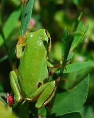 Rela (anacm.silva) Tags: wild naturaleza portugal nature wildlife natureza hylaarborea rela anfíbio salreu commontreefrog bioria