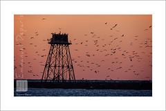 Hitchkock's Tower (Emmanuel DEPARIS) Tags: sea mer bird beach de du cote phare emmanuel calais manche nord semaphore mouette seagul walde dopale deparis géland