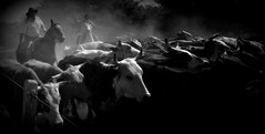 Vida tropeira (Eduardo Amorim) Tags: brazil horses horse southamerica brasil cowboys caballo cheval caballos kuh cow rind cowboy cattle cows ox ganado cavalos oxen mucca pferde cavalli cavallo cavalo gauchos pferd riograndedosul tropa pampa bois khe vache vaca peasant vacas campanha brsil vaches boi chevaux gaucho buey  amricadosul mucche fronteira boeuf paysan vieh gacho amriquedusud  gachos  boeufs buoi sudamrica rinder gado suramrica amricadelsur bueyes sdamerika mue pinheiromachado tropeiro  bestiami btail americadelsud tropero resero americameridionale campeiros campeiro
