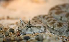 Cerastes cerastes (colindaca) Tags: snake venomous serpente vipera velenoso cerastescerastes