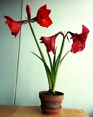 Amaryllis (neil cummings) Tags: flowers winter colour london vanity amaryllis antidepressant