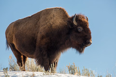 Bison, Lamar Valley (Neal Herbert) Tags: park national yellowstone bison