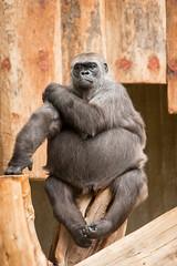 2014-12-05-10h20m51.BL7R7701 (A.J. Haverkamp) Tags: germany zoo gorilla tumba krefeld dierentuin westelijkelaaglandgorilla canonef70200mmf28lisusmlens dob01011973 httpwwwzookrefeldde pobinthewildcameroon