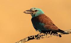 European Roller (Coracias garrulus) (Corriplaya) Tags: birds aves europeanroller coraciasgarrulus carracaeuropea corriplaya