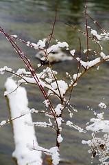 snow flower tree (SusanCK) Tags: snow landscape leavenworth susancksphoto