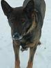 DSCN1192.jpg (kelsey_scarborough) Tags: winter dog pet snow cute nose play calendar farm playful csc farmdog blackandbrown snownose kelseyscarborough