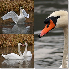 Schwne im Winter (peterphot) Tags: winter wildlife natur swans sachsen schwne