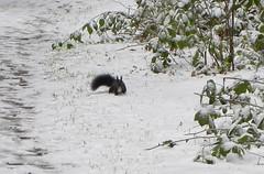 Red Squirrel in the snow (sandlings) Tags: christmas winter snow germany whitechristmas freiburg schwarzwald blackforest redsquirrel hinterzarten hochschwarzwald