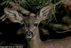 Deer (AmyKay1974) Tags: cemetery deer pacificgrove