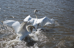 Swan Flapping its wings 2 (Sophie Shu) Tags: white ontario bird nature water photo swan wings swans lakeontario mississauga flap flapyourwings