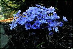 Spring Flowers   Leberblümchen (h.bresser) Tags: Blue Macro Spring Blau  Azzurro