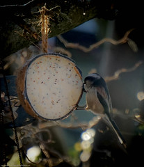 Long-Tailed tit (judy dean) Tags: bird garden feeding fat feathers longtailedtit 2015 naturethroughthelens judydean sonya6000