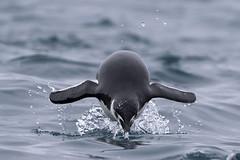 Chinstrap Penguin (Baractus) Tags: john penguin antarctica le peninsula oates antarctic boreal chinstrap elephantisland southshetlands pointwild inthewakeofshackleton