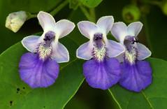 Vitex petersiana (zimbart) Tags: africa zimbabwe gonarhezounationalpark chilogorgesafarilodge flowers lamiaceae vitex vitexpetersiana blueflowers