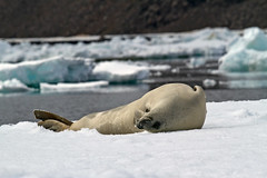 A Crabeater Seal Acting Like a Dog (jpmckenna - Tenquille Lake Up Next) Tags: snow ice antarctica seal hopebay crabeaterseal lobodoncarcinophagus zodiaccruising