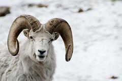 Big Horn Sheep DSC_4461 (Michael Mckinney (Find my Twitter @MMckinneypho) Tags: winter white snow canada mountains calgary nature animal mammal big sheep wildlife rocky alberta horn
