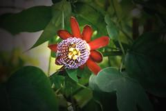 Passiflora alata (betadecay2000) Tags: brazil flower rot peru rain america forest south tags brasilien lila passion basil passiflora grn amerika eastern gros amazonas violett maracuja regenwald kletterpflanze sdamerika alata passionsfrucht brasilis hinzufgen
