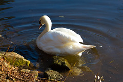 Roath Park 9th Feb 2015 300 (jasondunn2014) Tags: blue white lake bird water beautiful birds proud canon swan royal waterbird 7d graceful