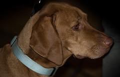 Absolute beauty (Tomislav C.) Tags: portrait dog eye beautiful beauty animal animals female eyes quiet serious portraiture ear pentaxk3
