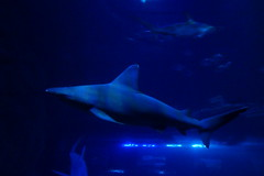 Requin gris (4) (Mhln) Tags: paris aquarium requin poisson trocadero poissons meduse 2015 cineaqua