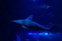 Requin gris (4) (Mhln) Tags: paris aquarium requin poisson trocadero poissons meduse 2015 cineaqua