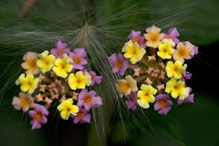 Uganda, Flower (mstoecklin) Tags: flower uganda