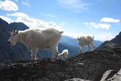 Ben Polley - Glacier goats