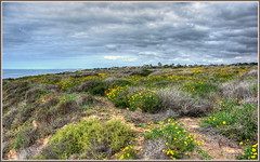 Fields of Yellow (tdlucas5000) Tags: flowers yellow del daisies mar bush corona sunflowers wildflowers hdr