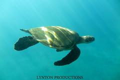 Turtle (Aaron Lynton) Tags: canon hawaii underwater turtle maui honu hawaiiangreenseaturtle g1x lyntonproductions