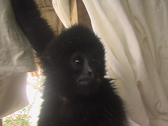 Hanging With The Gibbon