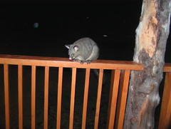 Bush Tailed Possum