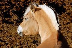 A proper mohawk (Washington Whitten) Tags: horse nature wildlife mohawk fjord equine washingtonwhitten