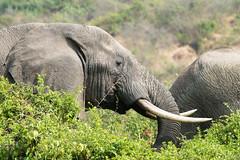 Elephant (luke.me.up) Tags: africa nature animals nikon safari uganda d800 80200 queenelizabethnationalpark qenp